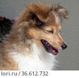 Junger Sheltie, Mini-Collie. Стоковое фото, фотограф Zoonar.com/Manfred Ruckszio / age Fotostock / Фотобанк Лори
