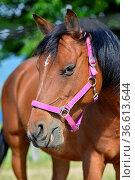 Araber Pferd mit pinkfarbenem Halfter, Portrait / Portrait of an Arabian... Стоковое фото, фотограф Zoonar.com/Stan / easy Fotostock / Фотобанк Лори