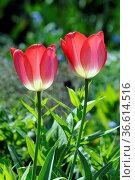 Tulpen, tulpe, tulipa, rot, pink, rosa, garten, gartenblume, gartenblumen... Стоковое фото, фотограф Zoonar.com/Volker Rauch / easy Fotostock / Фотобанк Лори
