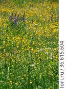 Gelbe Blumenwiese. Стоковое фото, фотограф Zoonar.com/Martina Berg / easy Fotostock / Фотобанк Лори
