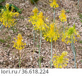 Gelber Lauch, Allium flavum. Стоковое фото, фотограф Zoonar.com/Manfred Ruckszio / age Fotostock / Фотобанк Лори