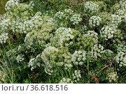 Cnidium dubium, Sumpf-Brenndolde, hemlock parsley. Стоковое фото, фотограф Zoonar.com/Peter Himmelhuber / age Fotostock / Фотобанк Лори