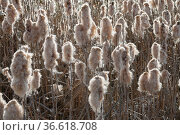 Typha latifolia, Breitblaettriger Rohrkolben, common bulrush. Стоковое фото, фотограф Zoonar.com/Peter Himmelhuber / age Fotostock / Фотобанк Лори