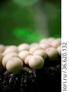 Diese ungeniessabren Pilze wachsen meist in großen Mengen auf morschem... Стоковое фото, фотограф Zoonar.com/Martina Berg / easy Fotostock / Фотобанк Лори