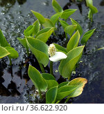 Sumpf-Calla, Calla, Calla palustris, Стоковое фото, фотограф Zoonar.com/Manfred Ruckszio / age Fotostock / Фотобанк Лори