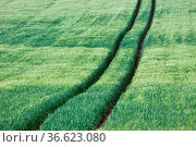 Spur in einem grünen Kornfeld. Стоковое фото, фотограф Zoonar.com/Martina Berg / easy Fotostock / Фотобанк Лори