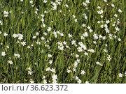 Blumenwiese, Wiesenblumen, Wildblumen, Стоковое фото, фотограф Zoonar.com/Manfred Ruckszio / age Fotostock / Фотобанк Лори