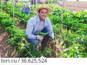 Farmer checking crop of green peppers on vegetable plantation. Стоковое фото, фотограф Яков Филимонов / Фотобанк Лори