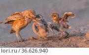 Burrowing owl (Athene cunicularia) parent and three chicks on ground. Parent feeding chick, Marana, Arizona, USA. Стоковое фото, фотограф Jack Dykinga / Nature Picture Library / Фотобанк Лори