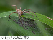 Nursery web spider (Pisaura mirabilis), with web full of spiderlings, Brasschaat, Belgium, July. Стоковое фото, фотограф Bernard Castelein / Nature Picture Library / Фотобанк Лори