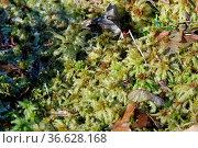Sphagnum palustre, Sumpf-Torfmoos, peat moss. Стоковое фото, фотограф Zoonar.com/Peter Himmelhuber / age Fotostock / Фотобанк Лори