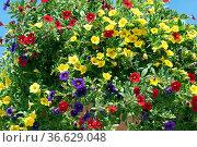 Petunie, Pitunia, Calibrachoa, Carillon. Стоковое фото, фотограф Zoonar.com/Manfred Ruckszio / age Fotostock / Фотобанк Лори