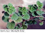 Kapland-Pelargonie, Pelargonium sidoides, Стоковое фото, фотограф Zoonar.com/Manfred Ruckszio / age Fotostock / Фотобанк Лори