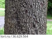 Speierling, Sorbus, domestica, Stamm, Rinde. Стоковое фото, фотограф Zoonar.com/Manfred Ruckszio / age Fotostock / Фотобанк Лори