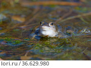 Maennlicher Moorfrosch, Rana arvalis, Male Moor Frogs. Стоковое фото, фотограф Zoonar.com/Christoph Bosch / easy Fotostock / Фотобанк Лори