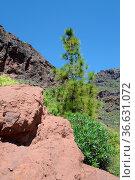Baum, kiefer,Landschaft , kanarische kiefer, Mogan, Gran Canaria,... Стоковое фото, фотограф Zoonar.com/Volker Rauch / easy Fotostock / Фотобанк Лори