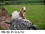 Ziege, tier, haustier, nutztier, braun-weiß, weiß-braun, geiß, geiss. Стоковое фото, фотограф Zoonar.com/Volker Rauch / easy Fotostock / Фотобанк Лори