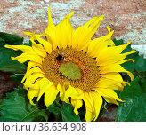 Sonnenblume, Helianthus, annuus, Hummel, Biene. Стоковое фото, фотограф Zoonar.com/Manfred Ruckszio / easy Fotostock / Фотобанк Лори