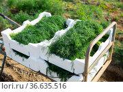 Crop of organic green dill in boxes on plantation. Стоковое фото, фотограф Яков Филимонов / Фотобанк Лори