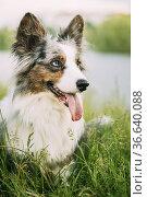 Funny Blue Merle Cardigan Welsh Corgi Dog Playing In Green Summer... Стоковое фото, фотограф Ryhor Bruyeu / easy Fotostock / Фотобанк Лори