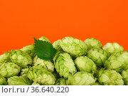 Close up heap of fresh green hops, ingredient for beer or herbal medicine... Стоковое фото, фотограф Zoonar.com/Anton Eine / easy Fotostock / Фотобанк Лори