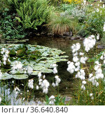 Gartenteich,Wasserpflanzen. Стоковое фото, фотограф Zoonar.com/Manfred Ruckszio / age Fotostock / Фотобанк Лори