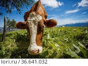 Happy Brown and White flecked Cows in the European Alps in Austria... Стоковое фото, фотограф Zoonar.com/Nailia Schwarz / easy Fotostock / Фотобанк Лори