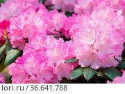 Flower Pink Rhododendron close-up. Стоковое фото, фотограф Zoonar.com/OLGAMURiNA / easy Fotostock / Фотобанк Лори