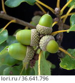 Eicheln, Fruechte, Samen, Quercus, Стоковое фото, фотограф Zoonar.com/Manfred Ruckszio / age Fotostock / Фотобанк Лори