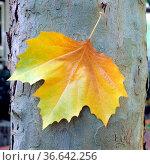 Platanenblatt, Herbst, Stamm, Стоковое фото, фотограф Zoonar.com/Manfred Ruckszio / age Fotostock / Фотобанк Лори