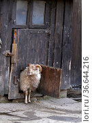 Skudde schaut aus einer Stalltür. Стоковое фото, фотограф Zoonar.com/Martina Berg / easy Fotostock / Фотобанк Лори