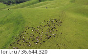 Hilly rural landscape with a herd of cows grazing in a meadow. Aerial view. Стоковое видео, видеограф Serg Zastavkin / Фотобанк Лори
