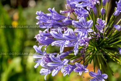 The plant (Agapanthus africanus (L.) Hoffmanns) grows close-up on a flower bed
