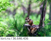 Siberian chipmunk or Eutamias sibiricus — is a striped animal of the squirrel family of the rodent order. Стоковое фото, фотограф Олег Елагин / Фотобанк Лори