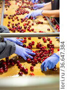 Sorting washed ripe cherres. Стоковое фото, фотограф Яков Филимонов / Фотобанк Лори
