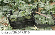 Broccolis in plastic crates on a farm field on a sunny spring day. Стоковое видео, видеограф Яков Филимонов / Фотобанк Лори
