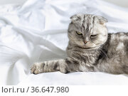 Purebred beautiful cat on a white bed. The Scottish Fold cat lays on its back and shows a fluffy belly. Plenty of room for text. Copy space. Place for text. Veterinary billboard advertising. Feed cat. Стоковое фото, фотограф Ирина Ткачук / Фотобанк Лори