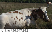 White and brown cow is lying in field grazes in meadow, field. sunny day. veterinary medicine, veterinarian Nature, Dairy products, beef. Natural Healthy food. Farm products, animal husbandry, cattle. Стоковое видео, видеограф Ирина Ткачук / Фотобанк Лори