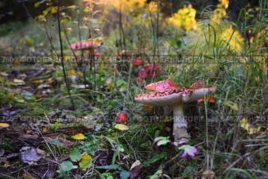 Forest path with fly agarics in autumn