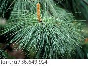 Haenge-Gelbkiefer, Pinus ponderosa, Pendula. Стоковое фото, фотограф Zoonar.com/Manfred Ruckszio / age Fotostock / Фотобанк Лори
