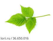 Brombeerblatt, Rubus fructicosa, Blatt, Стоковое фото, фотограф Zoonar.com/Manfred Ruckszio / age Fotostock / Фотобанк Лори