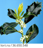 Stechpalme, Ilex aquifolium, Bachblueten, Стоковое фото, фотограф Zoonar.com/Manfred Ruckszio / age Fotostock / Фотобанк Лори