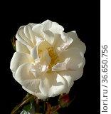 Weisse Rose, Strauchrose, Стоковое фото, фотограф Zoonar.com/Manfred Ruckszio / age Fotostock / Фотобанк Лори