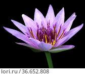 Blauer Aegyptischer Lotus, Nymphaea Caerulea, Wasserpflanzen. Стоковое фото, фотограф Zoonar.com/Manfred Ruckszio / age Fotostock / Фотобанк Лори