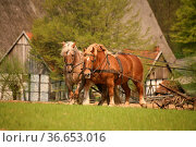 Nostalgische Bodenbearbeitung mit zwei prächtigen Kaltblütern. Стоковое фото, фотограф Zoonar.com/Martina Berg / easy Fotostock / Фотобанк Лори