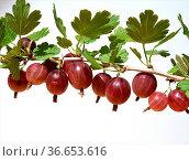 Stachelbeere, Ribes, uva-crispa. Стоковое фото, фотограф Zoonar.com/Manfred Ruckszio / easy Fotostock / Фотобанк Лори