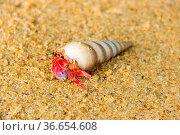 Hermit or diogenes crab in a beautiful gastropod shell as dwelling... Стоковое фото, фотограф Zoonar.com/Maximilian Buzun / easy Fotostock / Фотобанк Лори