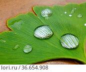 Ginkoblatt mit Regentropfen, Wassertropfen, Ginkgo, Ginko (Ginkgo... Стоковое фото, фотограф Zoonar.com/Bildagentur Geduldig / easy Fotostock / Фотобанк Лори