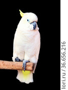 Greater sulphur-crested cockatoo (Cacatua galerita) - portrait of... Стоковое фото, фотограф Zoonar.com/Maximilian Buzun / easy Fotostock / Фотобанк Лори
