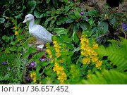 Gartenfigur : Ente im Garten, Стоковое фото, фотограф Zoonar.com/Bildagentur Geduldig / easy Fotostock / Фотобанк Лори